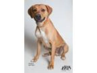 Adopt Thaddeus in training a Labrador Retriever