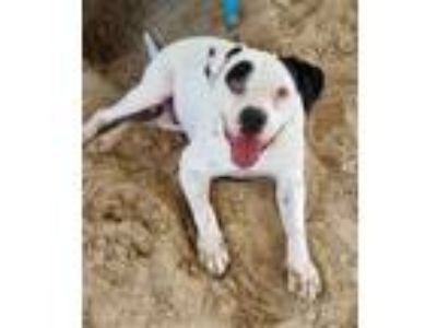Adopt CHEWY a Black American Pit Bull Terrier / Mixed dog in Green Cove Springs