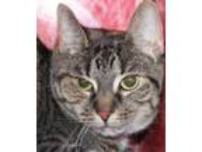Adopt Galaxy a Domestic Short Hair