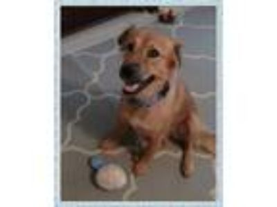 Adopt STELLA - GUEST a Red/Golden/Orange/Chestnut Retriever (Unknown Type) /