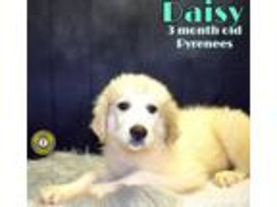 Adopt Daisy a Great Pyrenees