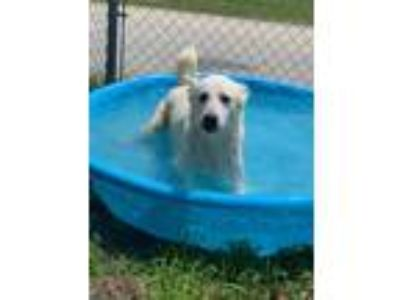 Adopt polar a White Husky / Shepherd (Unknown Type) / Mixed dog in Marion
