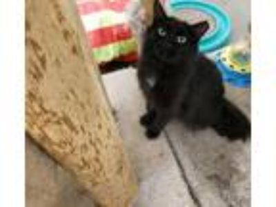 Adopt TINA a All Black Domestic Longhair / Mixed (long coat) cat in Smithtown