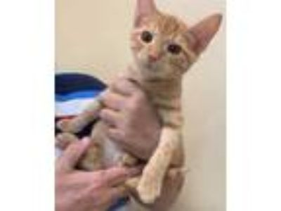 Adopt Turtle a Orange or Red Domestic Shorthair / Domestic Shorthair / Mixed cat