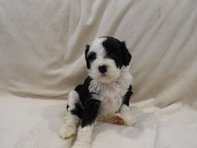 Portuguese Water Dog PUPPY FOR SALE ADN-48518 - Portuguese Water Dog Puppies