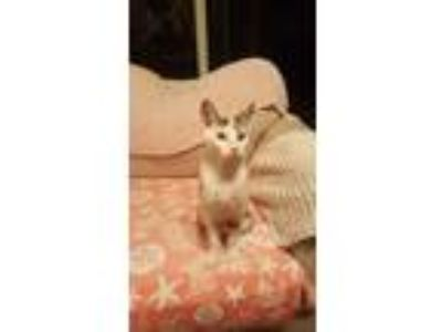 Adopt Hermes a Tiger Striped American Shorthair / Mixed cat in West Palm Beach