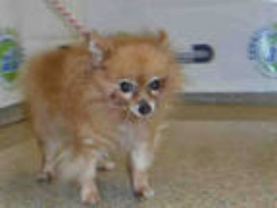 Adopt LOLA a Brown/Chocolate Pomeranian / Mixed dog in Doral, FL (25897857)