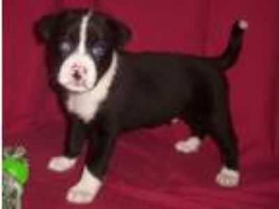 Adopt TEDDY....A VERY SPECIAL PUPPY... a Pug, Boston Terrier