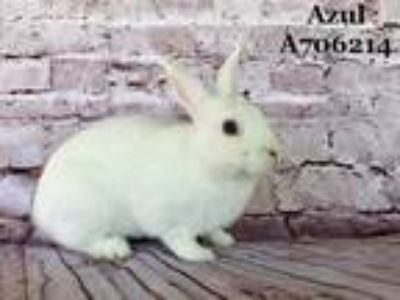 Adopt *AZUL a White Other/Unknown / Mixed rabbit in Camarillo, CA (24944545)