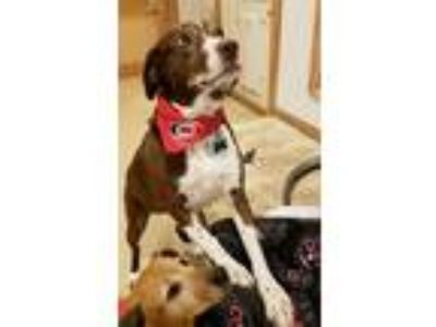 Adopt Maybell and Angie a Brown/Chocolate Labrador Retriever / Mixed dog in