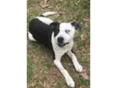 Adopt Macey a Black - with White Border Collie / Blue Heeler / Mixed dog in