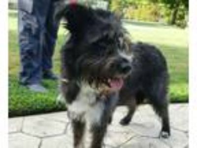Adopt Maggie a Black Terrier (Unknown Type, Small) / Mixed dog in Houston