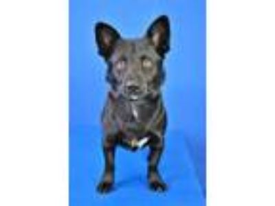 Adopt (found) Ranger a Black Corgi / Mixed dog in Cabot, AR (25324899)