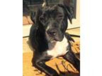Adopt Xena a Black - with White Labrador Retriever / American Pit Bull Terrier /
