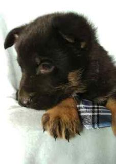 German Shepherd Dog PUPPY FOR SALE ADN-72001 - ROMEO