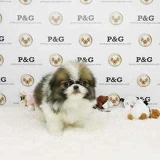 Japanese Chin PUPPY FOR SALE ADN-70826 - Japanse Chin  Carter  Male