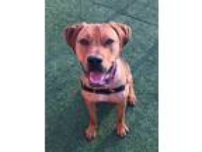 Adopt Pretzel a Tan/Yellow/Fawn - with Black Shepherd (Unknown Type) / Mixed dog