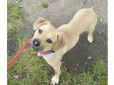 Adopt Chips Lonestar RM a Tan/Yellow/Fawn - with Black Beagle / Labrador