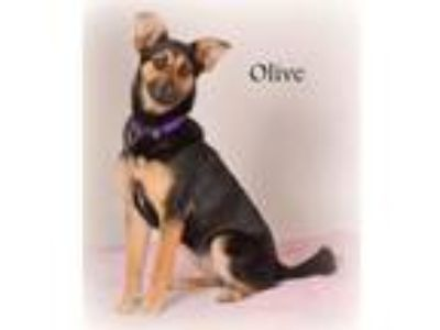 Adopt OLIVE a German Shepherd Dog, Beagle