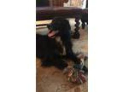 Adopt Lola a Black - with White Labrador Retriever / Cocker Spaniel dog in