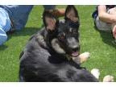 Adopt Duke a Black - with White Australian Cattle Dog / Border Collie dog in