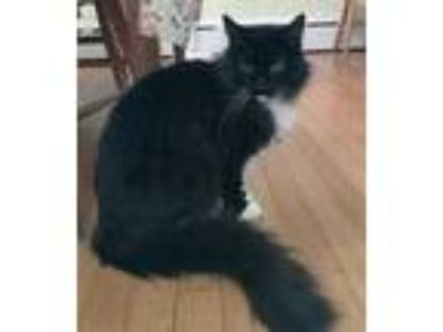 Adopt Elroy a All Black Domestic Mediumhair / Domestic Shorthair / Mixed cat in