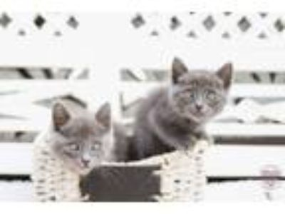 Adopt Russian Blues a Russian Blue