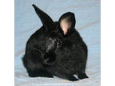 Adopt Twyla (bonded to Clint) a Bunny Rabbit