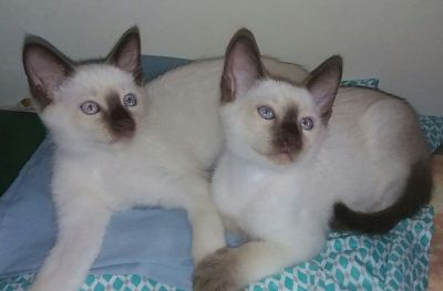 Balinese Siamese Kittens for adoption
