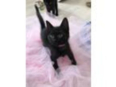 Adopt Blessing a All Black Domestic Shorthair (short coat) cat in Duluth