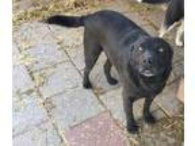 Adopt Cedric a Black Labrador Retriever
