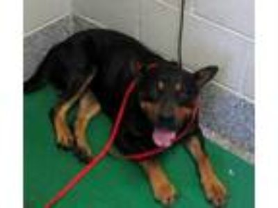 Adopt Howell a Black Rottweiler / Mixed dog in Pickens, SC (25299165)