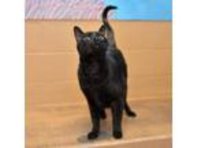 Adopt Ben a All Black Domestic Shorthair / Mixed cat in Oakland, CA (23785911)