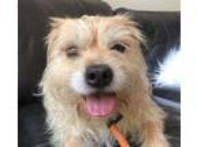 Adopt Butterscotch a Wheaten Terrier
