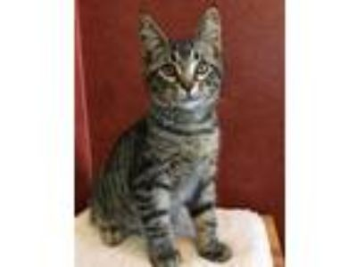 Adopt John a Brown or Chocolate Domestic Shorthair / Domestic Shorthair / Mixed