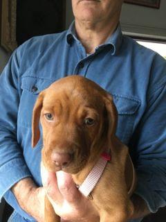 Vizsla PUPPY FOR SALE ADN-108631 - Beautiful Female Vizsla Puppy
