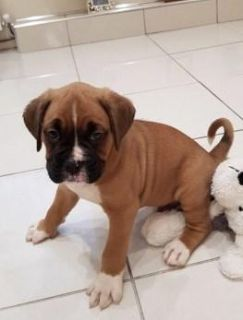 Boxer Dogs and Puppies for sale Text:(540)x268x0083