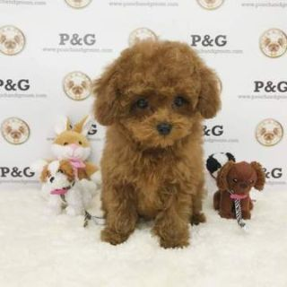 Poodle (Toy) PUPPY FOR SALE ADN-71386 - Poodle Toy  Duke  Male