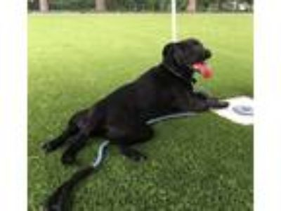 Adopt Tillian a Labrador Retriever / American Staffordshire Terrier / Mixed dog