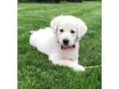 Adopt BABY WILLOW- Adopted a Great Pyrenees, Labrador Retriever
