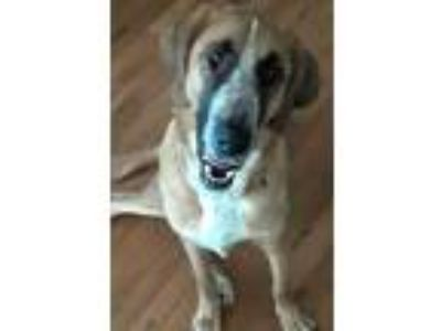 Adopt Lawrence a Black - with Tan, Yellow or Fawn Hound (Unknown Type) /