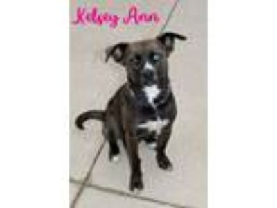 Adopt Kelsey Ann a Boxer, Catahoula Leopard Dog