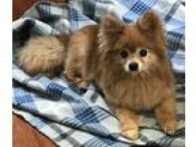Adopt Trio a Red/Golden/Orange/Chestnut - with White Pomeranian / Mixed dog in