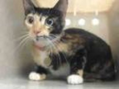 Adopt KC a American Shorthair