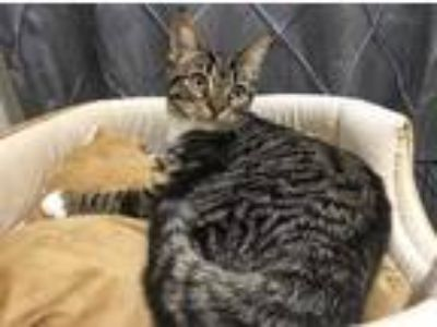Adopt Eloise a Brown Tabby Domestic Shorthair (short coat) cat in Morgantown