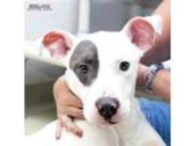 Adopt Willy a White American Pit Bull Terrier / Mixed dog in Noblesville