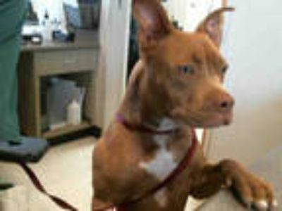 Adopt MERCEDES a Brown/Chocolate - with White American Pit Bull Terrier / Mixed