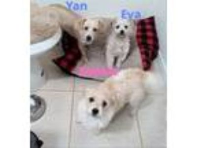 Adopt Yan - Sophie pup a Tan/Yellow/Fawn Poodle (Miniature) / Terrier (Unknown