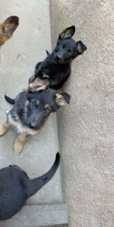 Pure German shepherd puppies