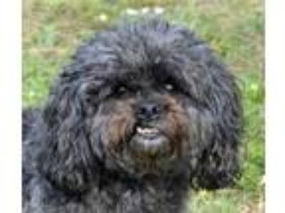 Adopt Molly a Black Shih Tzu / Mixed dog in Englewood, FL (25296057)